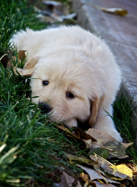 golden-retriever-female-puppy